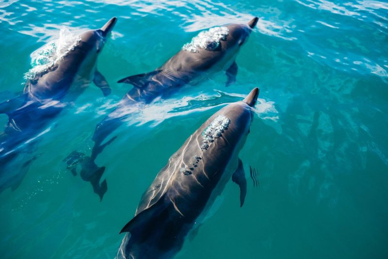 three dolphins swimming near surface