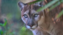 A Florida Panther hanging out in a tree near Lely Resort