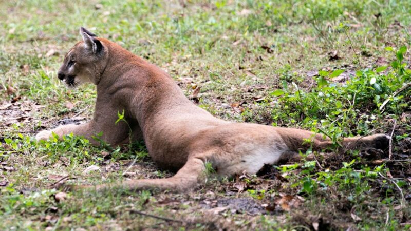 a florida panther lounging in the grass